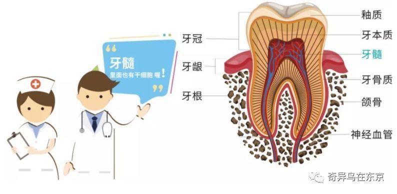 顶级贵妇抗衰项目!牙髓干细胞你了解多少?| 日本整容整形